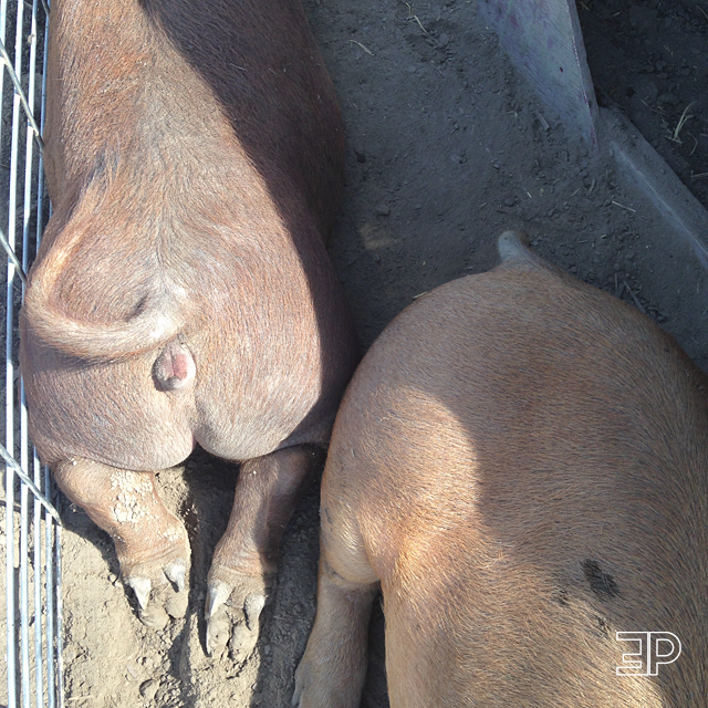 pigs cuddling at the petting farm at Bills Berry Farm in Yakima, WA - via The Emerald Palate