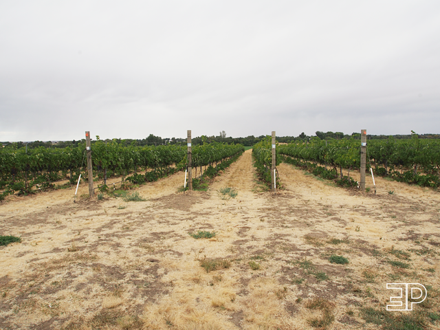 vineyards on the Amavi Cellars property in Walla Walla, WA. - via The Emerald Palate