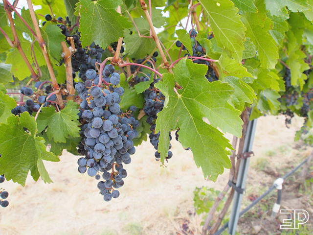 close up of wine grapes in Walla Walla, WA - via The Emerald Palate