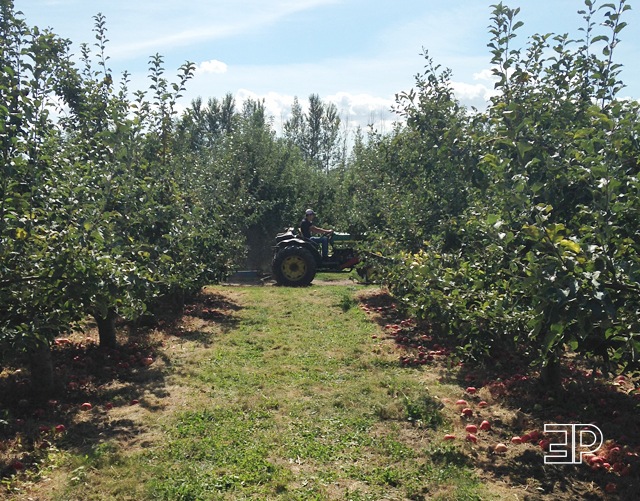 rows and rows of apple orchards at Bills Berry Farm in Yakima, WA - via The Emerald Palate