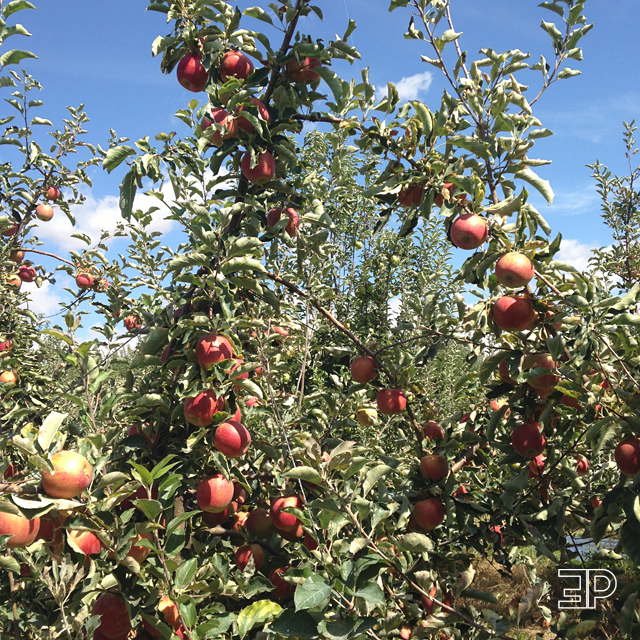 apples ready for u-pick at Bills Berry Farm in Yakima, WA - via The Emerald Palate