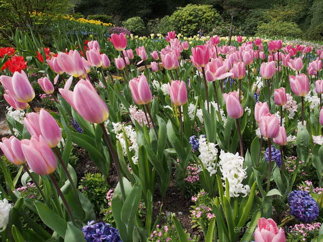 Colorful tulip field at Butchart Gardens in Victoria, British Colombia.
