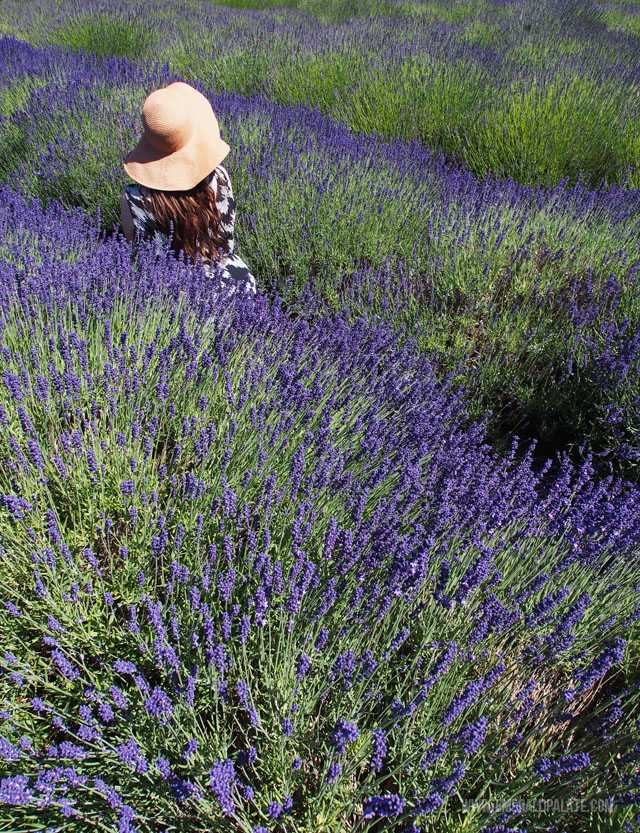 Head to Evergreen Valley Lavender Farm if you are in Olympia WA from June to August to see the lavender in full bloom.