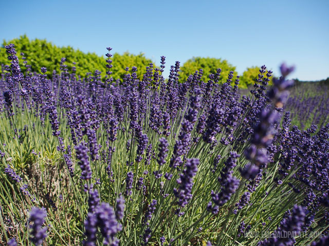 Evergreen Valley Lavender Farm in Olympia WA when in full bloom