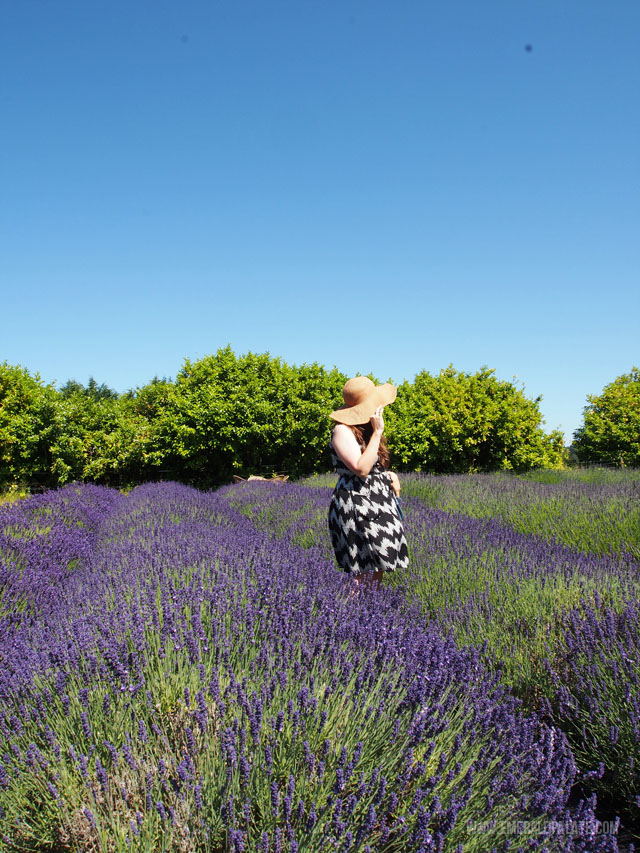 View of the lavender in full bloom at Evergreen Valley Lavender Farm in Olympia WA.