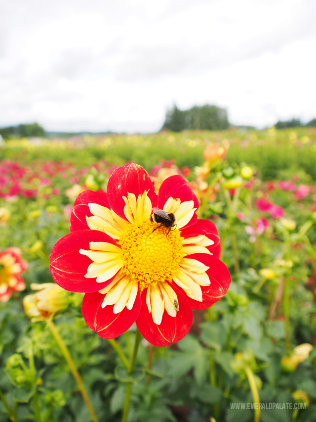 Dahlia flower close up with bee at Swan Trail Farm in Willamette Valley Oregon.