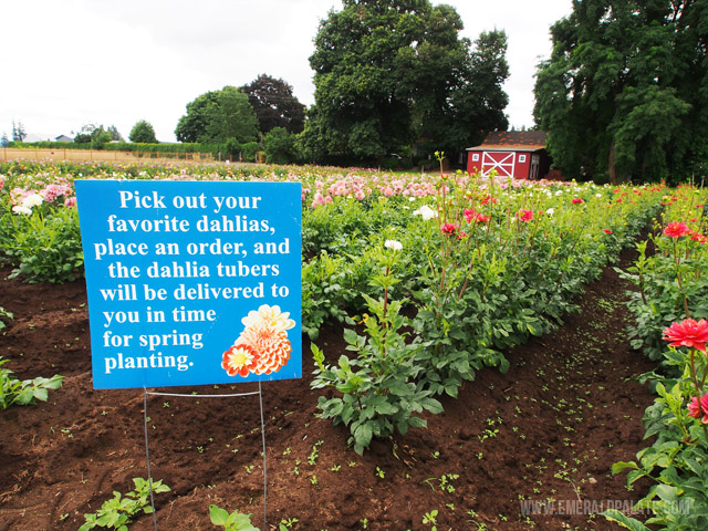 Directions for picking your own dahlia flowers at Swan Trail Dahlia Farm in Willamette Valley, Oregon.