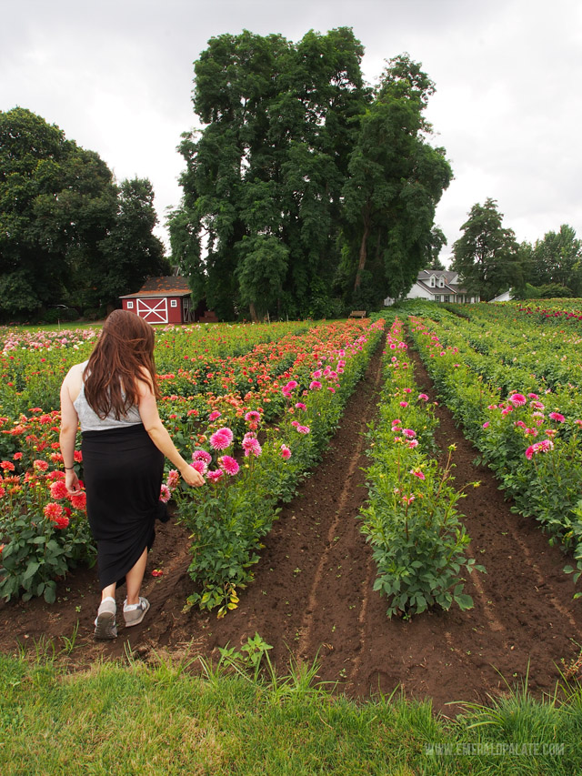Rows and rows of dahlia flower fields await you at Swan Trail Dahlia Farm in Willamette Valley Oregon.