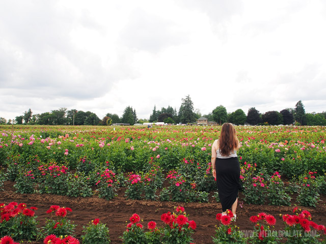 Discover your favorite dahlia flower variety and order them to be shipped to your home during planting season. One of the cool things you can do at Swan Trail Dahlia Farm in Willamette Valley, Oregon.